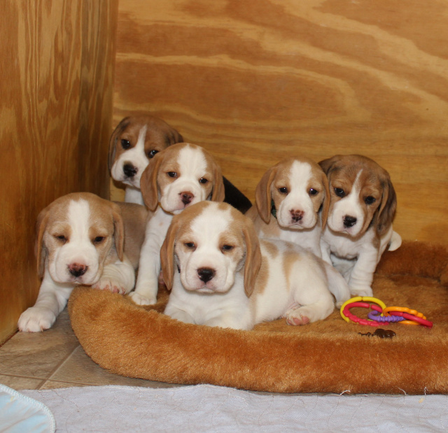 How to find a reputable beagle breeder in new jersey it is important to know that njbs does not ship puppies so if you live out of the tri state area and are looking for a beagle puppy but can not pick voltagebd Choice Image